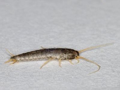 белое насекомое в ванной